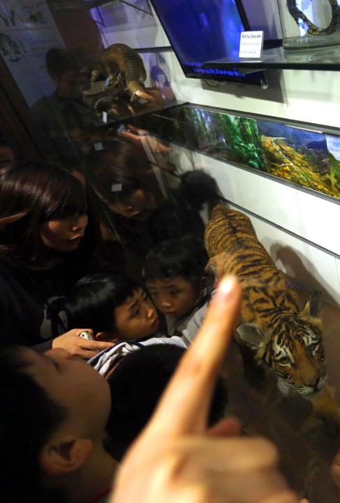 Một em bé chen chúc vào xem mẫu vật hổ