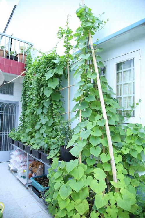 Nếu tưới quá nhiều cộng với chậu trồng không thoát nước cũng dễ xảy ra tình trạng úng rễ