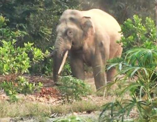 Con voi ngà lệch xuất hiện kiếm ăn, phá rẫy của người dân rạng sáng 5-4