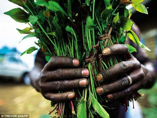 Lá khat - nguyên liệu bào chế ra cathinone tổng hợp độc hại - được thu hoạch ở Kenya, từ đó vận chuyển sang châu Âu và nhiều quốc gia khác Ảnh: DAILY MAIL