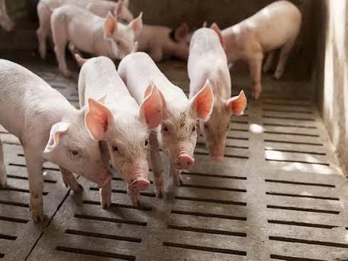 Nhóm nghiên cứu khuyến cáo không nên lạm dụng kháng sinh trong chăn nuôi Ảnh: HEALTHDAY NEWS