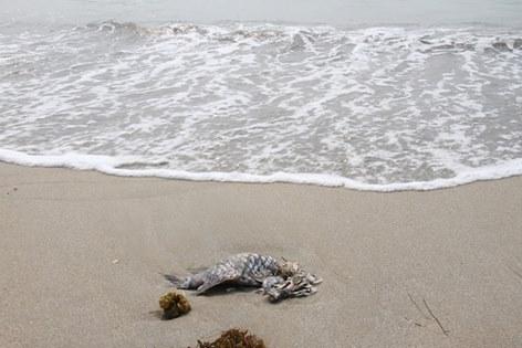 Cá chết dạt vào biển Đà Nẵng sáng 27-4