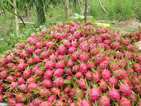 Thanh long Việt Nam sắp được xuất khẩu sang Đài Loan