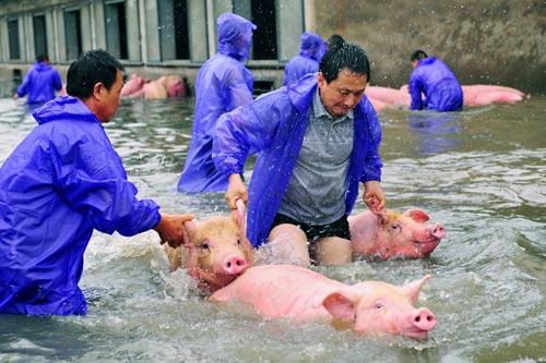 Heo được cứu khỏi một trang trại ngập nước ở TP Lục An, tỉnh An Huy hôm 5-7 Ảnh: REUTERS