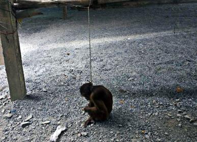 Hiện nhà chùa và người dân trong vùng đang ra sức bảo vệ đàn khỉ. Trong ảnh một con khỉ bị bắt và bày bán ngay dưới cổng chùa núi Châu Thới (Ảnh: Bạn đọc cung cấp)
