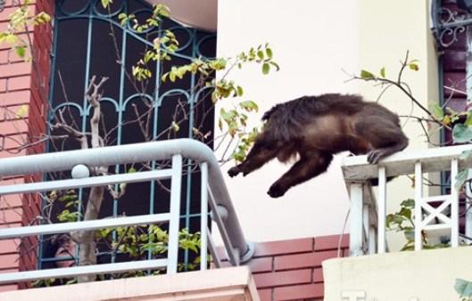 Con khỉ mặt đỏ nhảy nhót, leo trèo gây náo loạn khu dân cư trên địa bàn chiều ngày 28-2. Ảnh: TPO