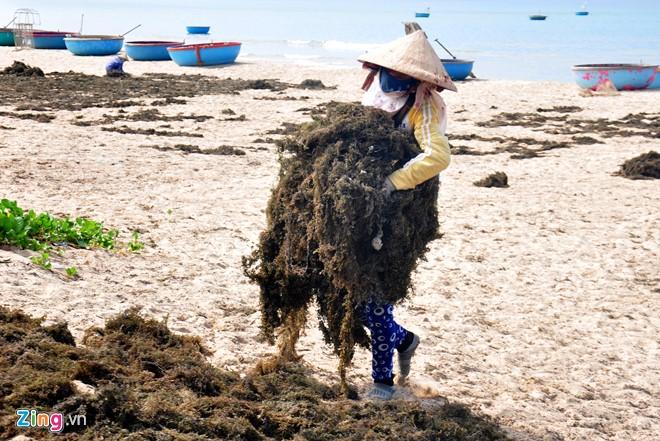 Ồ ạt khai thác rong mơ vùng biển Quảng Ngãi