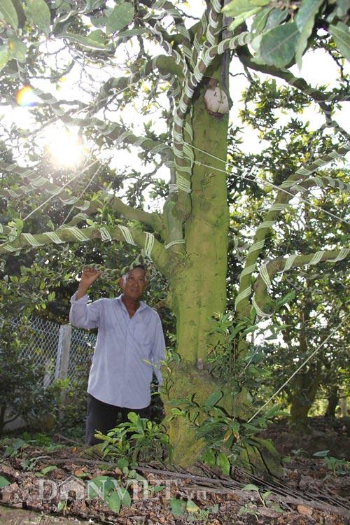 Ông Triệu Văn Ẩn cho biết, gia đình đang có 3 cây mai có trên 100 năm tuổi. Trong đó, mỗi cây cao trung bình từ 3-4m, tán cây rộng từ 3-4m, bề vòng thân cây khoảng 1m.