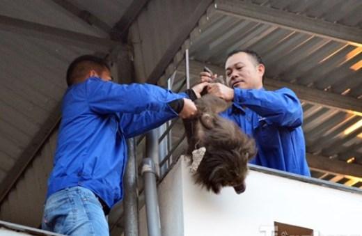 Cơ quan chức năng phải dùng thuốc mê để bắt con khỉ. Ảnh: TPO