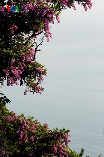 Hoa của cây Thàn Mát ở Sơn Trà.