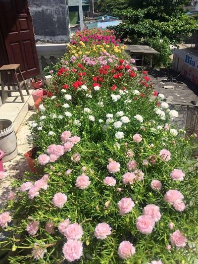 Những ban công hoa mười giờ rực rỡ