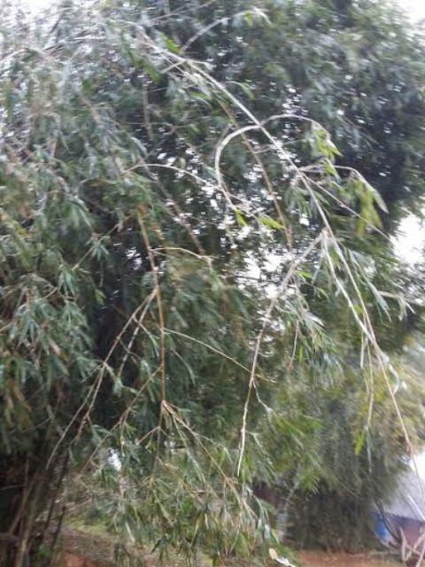 Cây cối cũng phủ đầy băng giá - Ảnh: Thanh Tùng
