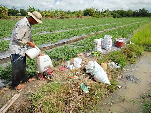"""Không ít nhà nông ở ĐBSCL đã cho dưa hấu """"ngậm"""" quá nhiều thuốc kích thích, tăng trưởng Ảnh: NGỌC TRINH"""