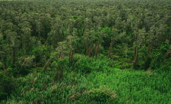 Những cây tràm giống như biểu tượng của rừng U Minh Hạ