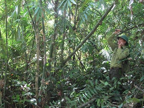 Rừng lồ ô trong Vườn Quốc gia Cát Tiên