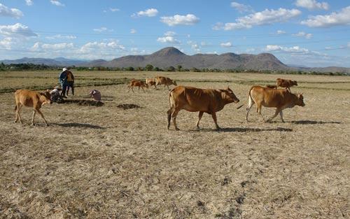 Nhiều cánh đồng ở huyện Đức Linh (Bình Thuận) không thể sản xuất vì thiếu nước Ảnh: MINH HẢI