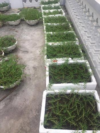 Chị Thủy đầu tư chậu xốp trên sân thượng chỉ để trồng hoa mười giờ