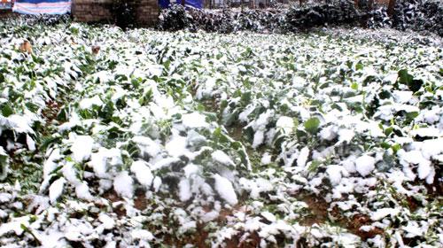 Băng tuyết phủ trắng hoa màu ở bản Sài Khao, xã Mường Lý, huyện Mường Lát, tỉnh Thanh Hóa Ảnh:Tuấn Minh