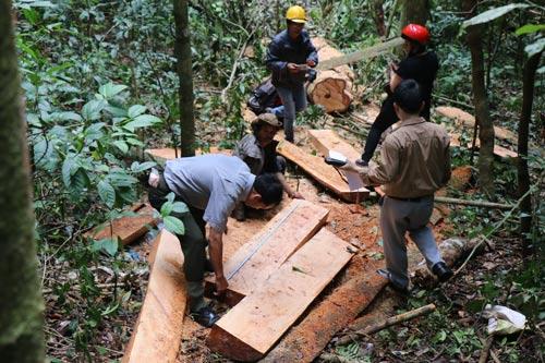 Những cây gỗ quý bị lâm tặc triệt hạ tại tiểu khu 390A, khu vực lòng hồ thủy điện Đồng Nai 5 (huyện Bảo Lâm, tỉnh Lâm Đồng) Ảnh: ĐÌNH THI