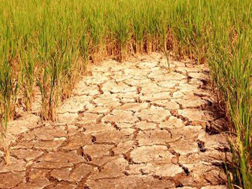 Cánh đồng lúa chết do bị mặn xâm nhập ở huyện Long Phú, tỉnh Sóc TrăngẢnh: Ca Linh