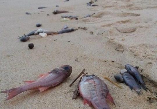 Cá chết bất thường trôi dạt vào bờ biển xã Quảng Phú (huyện Quảng Trạch, tỉnh Quảng Bình)