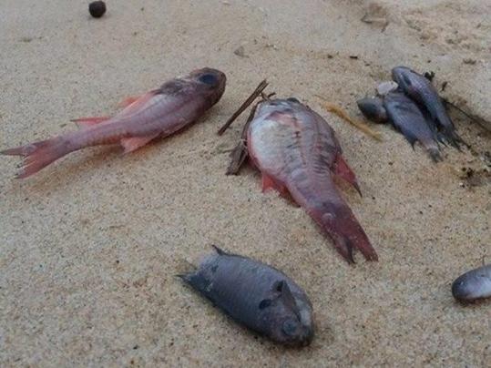 Cá chết bất thường, hàng loạt trôi dạt vào bờ biển xã Quảng Phú, huyện Quảng Trạch, tỉnh Quảng Bình