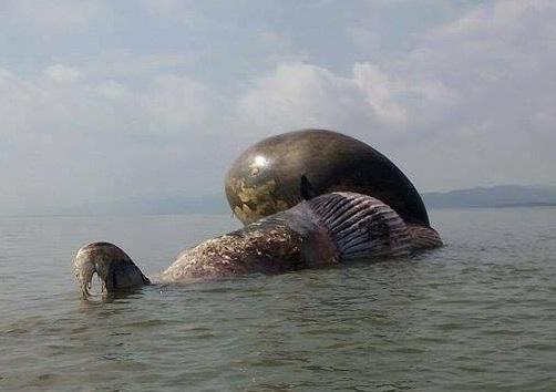 Cận cảnh cá voi khủng chết trôi dạt trên biển