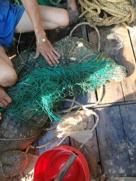 Con cá sấu trên sông Soài Rạp đã lọt lưới ngư dân sáng 2-5