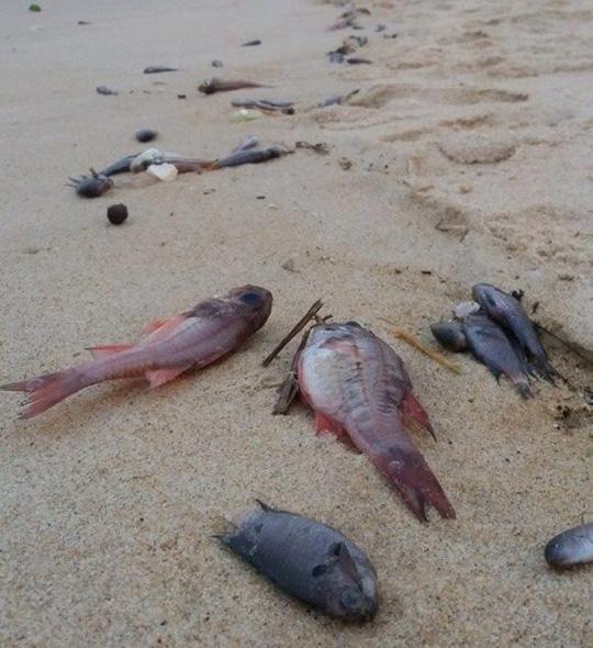 Cá chết bất thường trôi dạt vào bờ biển xã Quảng Phú (huyện Quảng Trạch, tỉnh Quảng Bình) được người dân gom nhặt về sử dụng