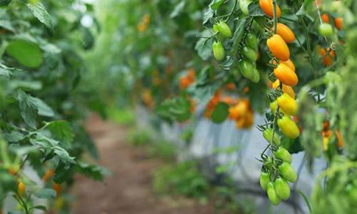 Những trái cà chua căng mọng khi ăn có mùi thơm trứng sữa.