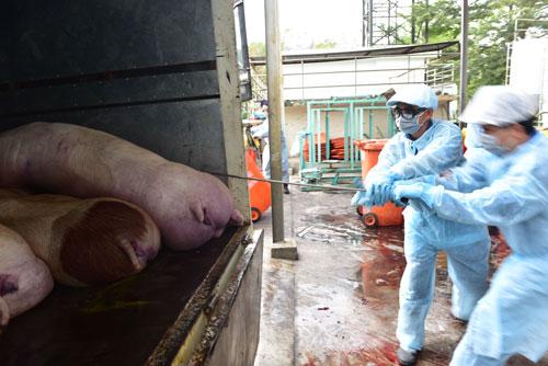 Tiêu hủy lô heo nhiễm chất cấm salbutamol tại TP HCM Ảnh: NGỌC ÁNH