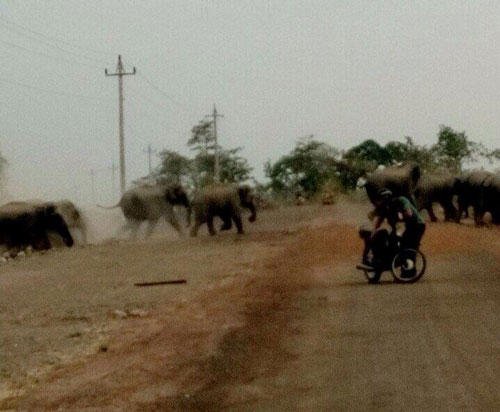 Đàn voi rừng rất dữ tợn, di chuyển trên đường, khu dân cư vào ban ngày (Ảnh do người dân cung cấp)