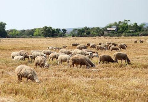 Nhờ nguồn thức ăn dồi dào, đàn cừu ở Ninh Thuận đang tăng trưởng tốt