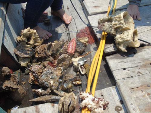 San hô và các loại hải sâm, vẹm, sò, hàu bị chết được đưa lên thuyền