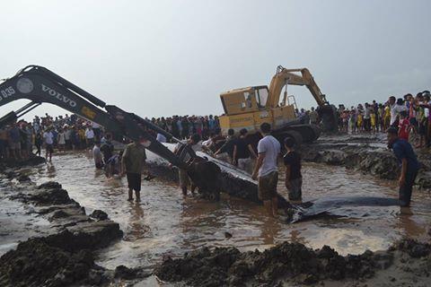 Huy động máy xúc đưa cá voi trở lại biển - Ảnh: Đức Chung