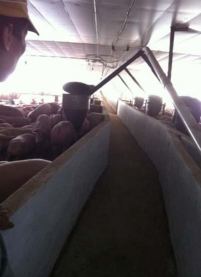Trại chăn nuôi heo theo quy trình thực hành chăn nuôi tốt VietGAP tại Tây Ninh