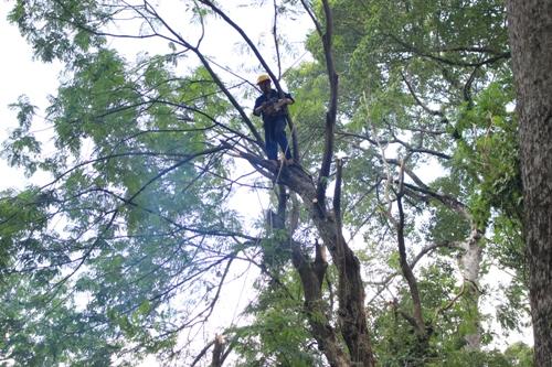 Nhân viên Công ty TNHH MTV Công viên cây xanh TP cắt gọn cành cây và thu dọn hiện trường