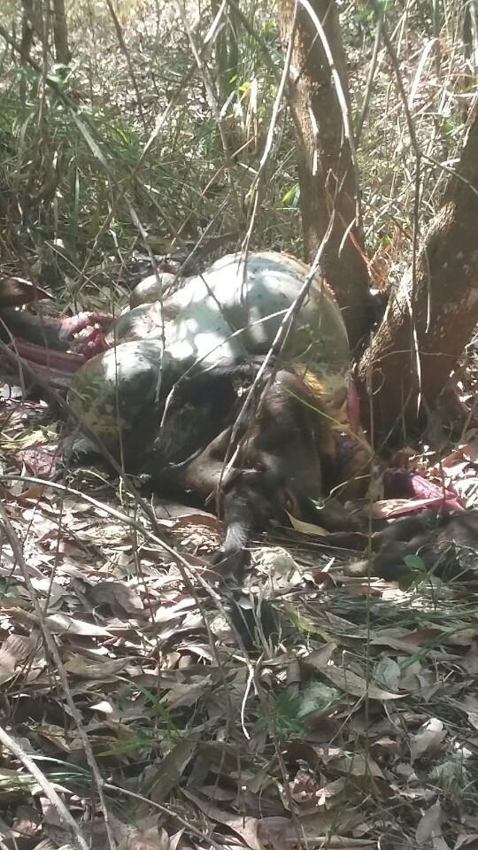 Xác bò tót được phát hiện trong rừng