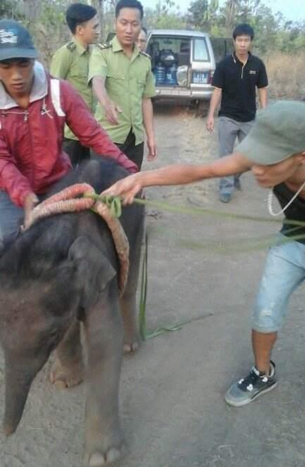 Chú voi rừng được giải cứu khi rơi xuống giếng nước