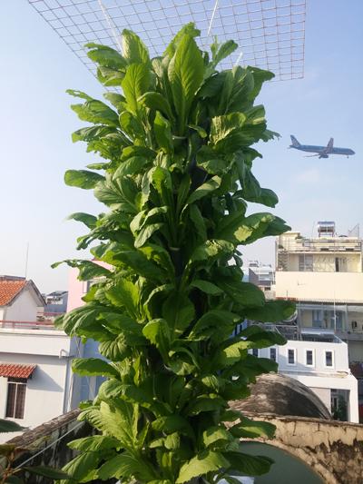 Vườn rau thẳng đứng lạ đời của dân Sài Gòn