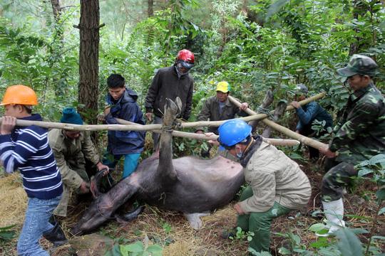Người dân ở huyện Quảng Trạch (tỉnh Quảng Bình) hì hục đưa con trâu chết rét ra khỏi núi - Ảnh: Hoàng Phúc