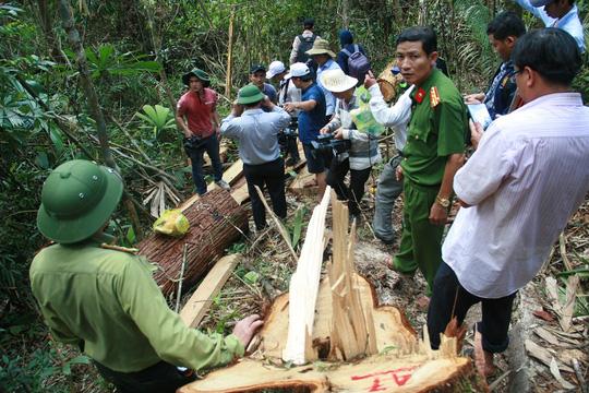 Lực lượng chức năng ở tỉnh Quảng Nam vào cuộc điều tra vụ phá rừng pơ mu nghiêm trọng - Ảnh: Trần Thường