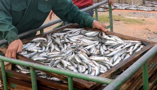 Số cá nục được xác định có hàm lượng Phenol là 0,037 mg/kg - Ảnh: H. Lợi
