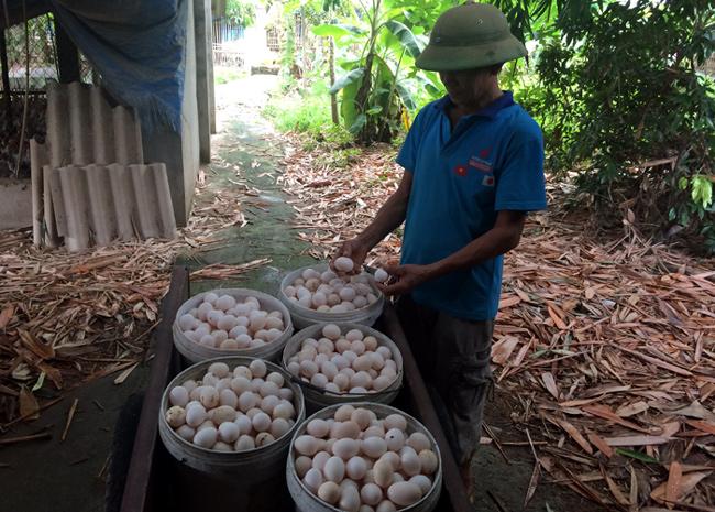 Trứng gà Ai cập lông vằn có màu trắng ngà, trứng gà ai cập lông trắng có màu trắng bạch