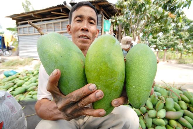 Bình quân 1 ha xoài 3 màu nông dân thu nhập gần 1 tỉ đồng/năm. Ảnh: Ngọc Trinh