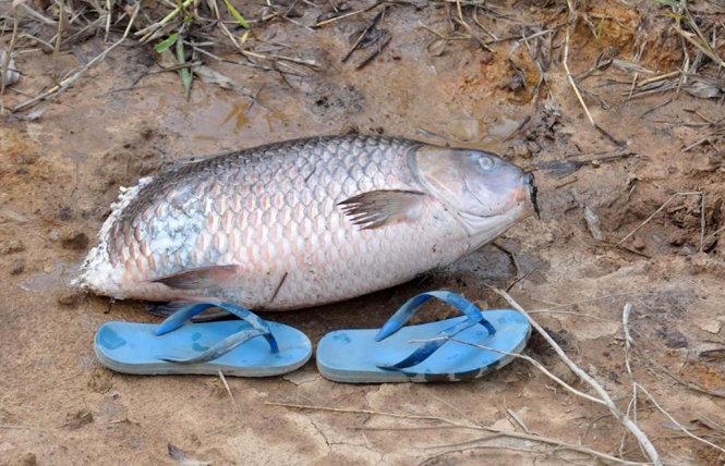 Con cá chép năng hơn 7kg, bị đàn cá lóc táp mất phần đuôi sau khi được vớt lên - Ảnh: LINH EM