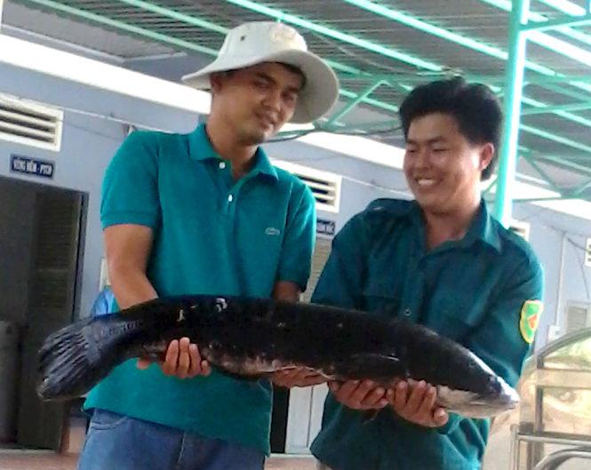 Con cá lóc bông năng 13kg được các nhân viên ở Láng Sen bắt lên để nghiên cứu - Ảnh: Khu bảo tồn đất ngập nước Láng Sen cung cấp