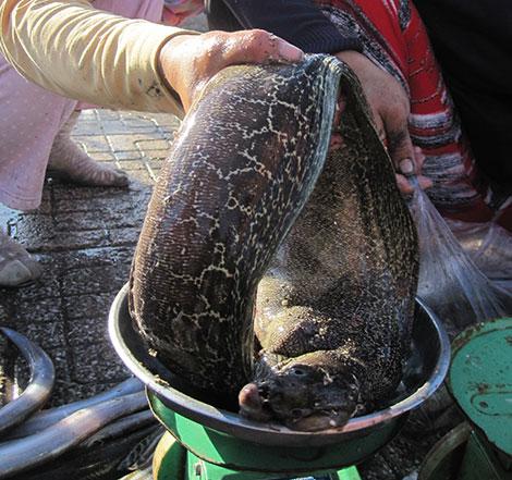 Cá chình biển là món đặc sản trứ danh được nhiều người săn lùng.