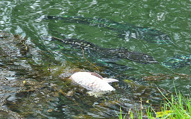 Cận cảnh con cá chép 10kg bị bầy cá lóc khủng làm thịt - Ảnh: Khu bảo tồn Láng Sen cung cấp