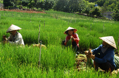 Nông dân ở Lâm Đồng thu hoạch hành lá